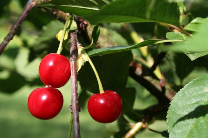 Una ciliegia al giorno combatte dolore e infiammazioni